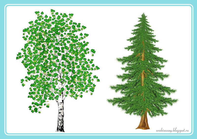 Лиственные и хвойные деревья картинки для детей