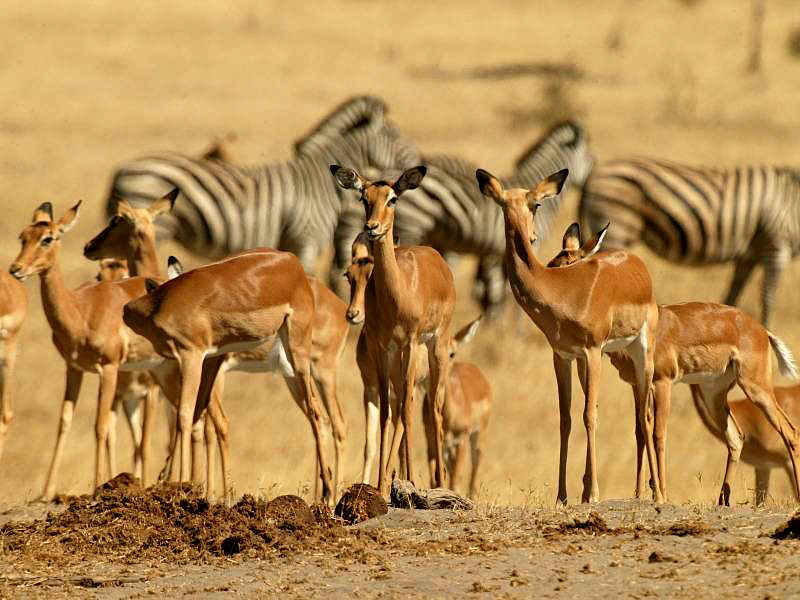mixed antelope species in the Kalahari