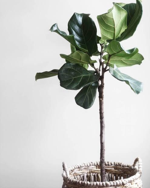 ต้นไม้ฟอกอากาศสำหรับผู้ที่เกิดวันเสาร์