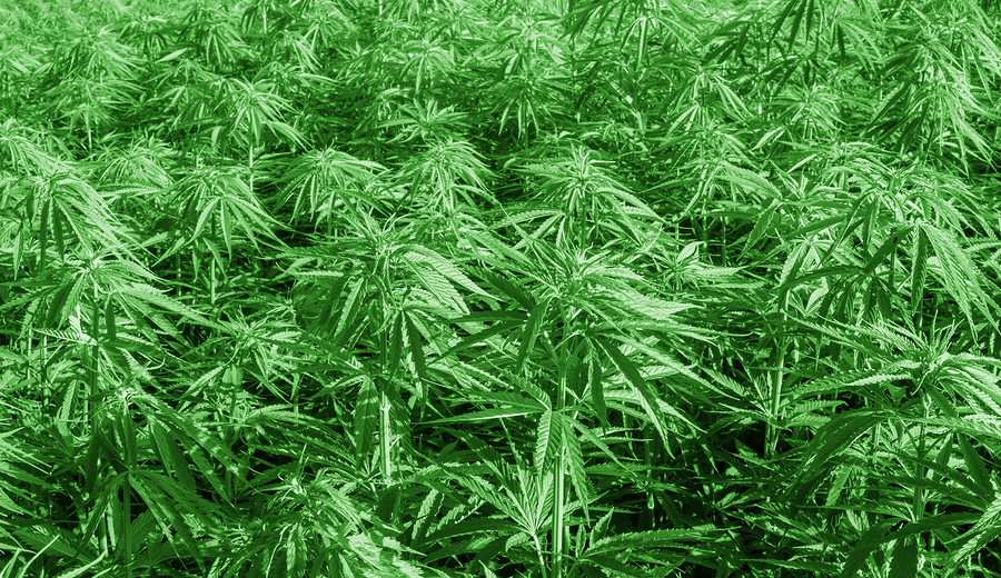 Large scale cannabis crop overhead view of mature plants