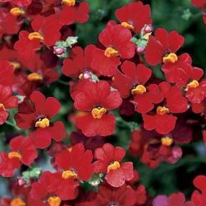 Image result for nemesia sunsatia cranberry