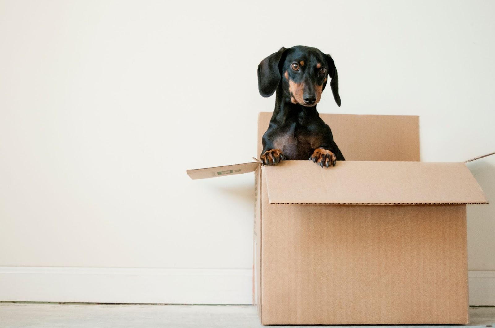 Dachshund dog peering up from inside cardboard box