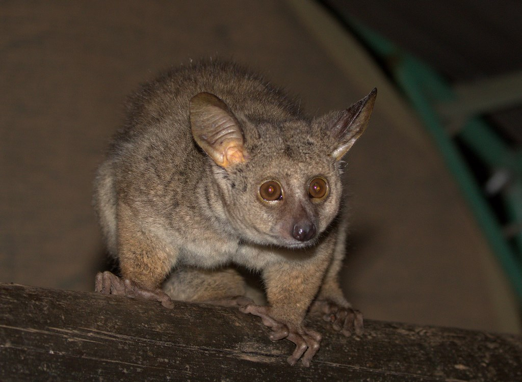 greater bushbaby (Copy).jpg