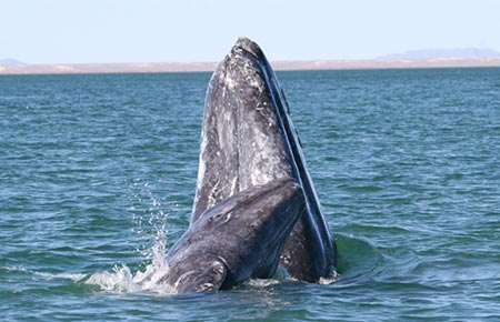 graywhale_mother_calf_spyhop_steven_swarts_noaa.jpg