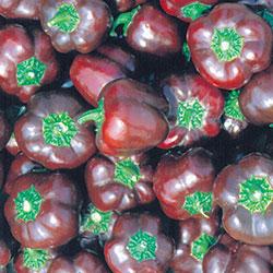 http://www.seedsavers.org/miniature-chocolate-bell-organic-pepper