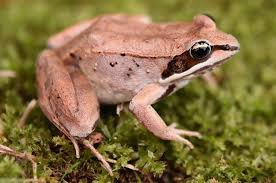 FunFactFriday This remarkable little amphibian is a wood frog ...