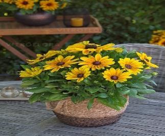https://www.vitroflora.pl/img/produkty/rosliny/_big/rudbeckia-sunbeckia-maya_4.jpg