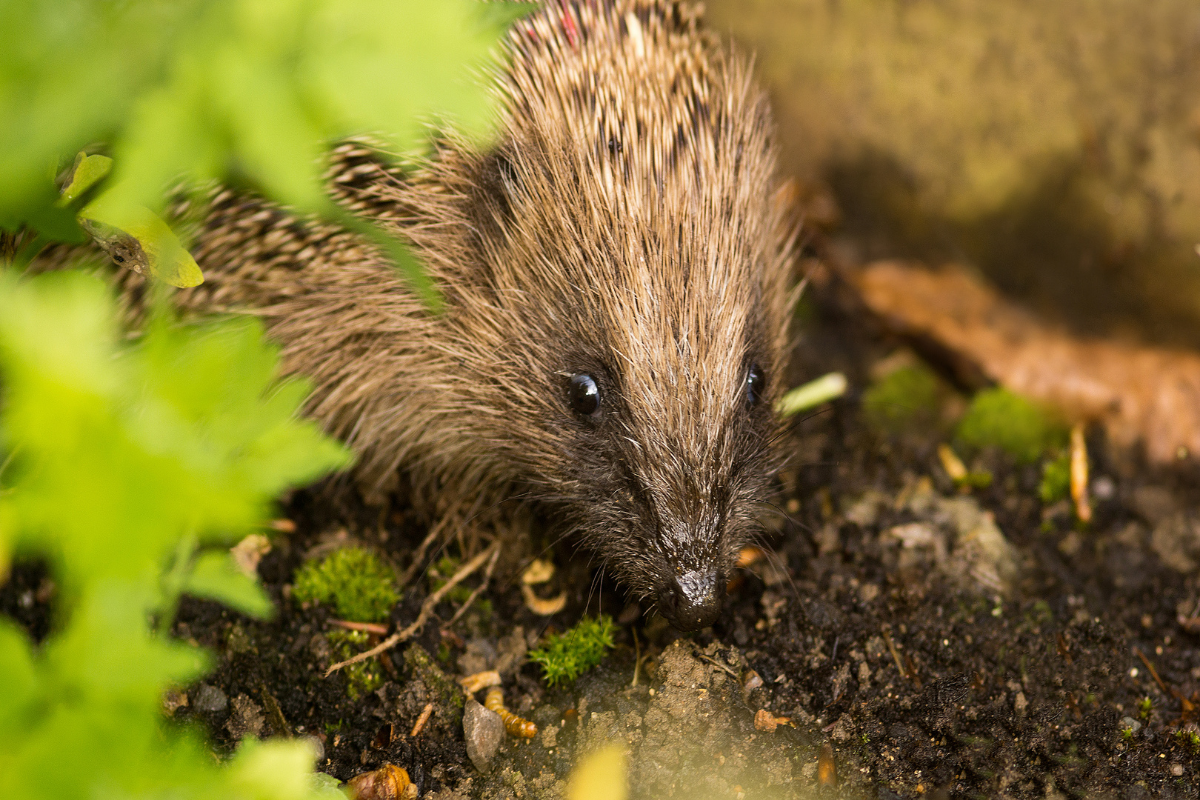 Why are Hedgehogs important