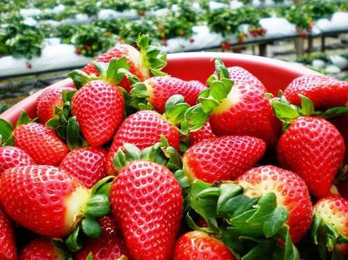 Guests are free to choose best strawberries by themselves in strawberry gardens in Da Lat