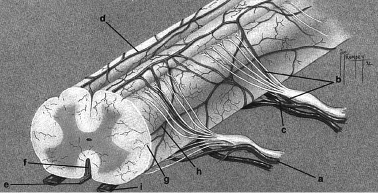 Schematic of the lumbar spinal cord blood flow