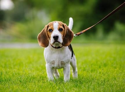 Mơ thấy dắt chó đi dạo