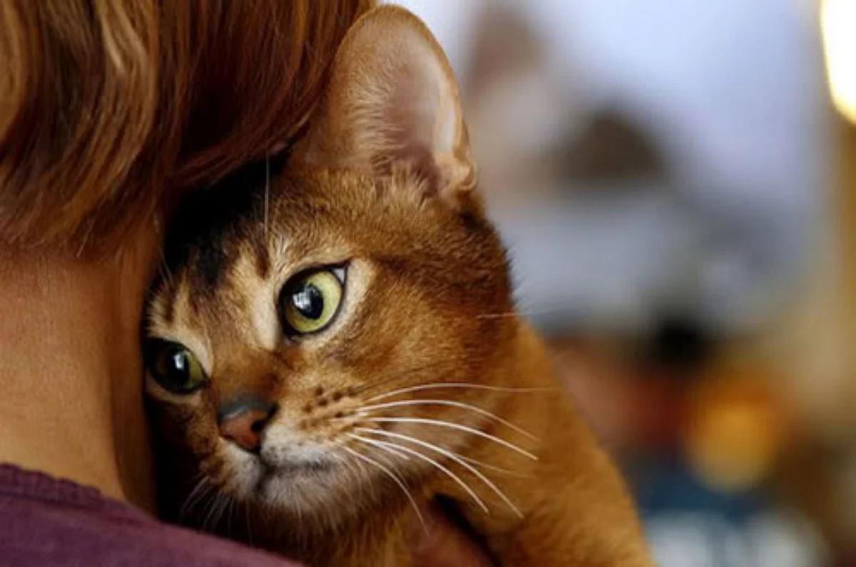Особенности проживания со «злыми» породами кошек
