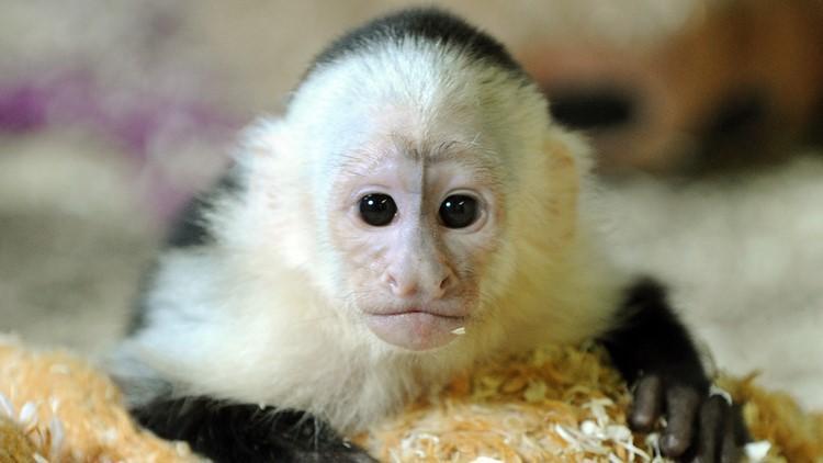 Florida 'Monkey Whisperer' indicted for trafficking ...