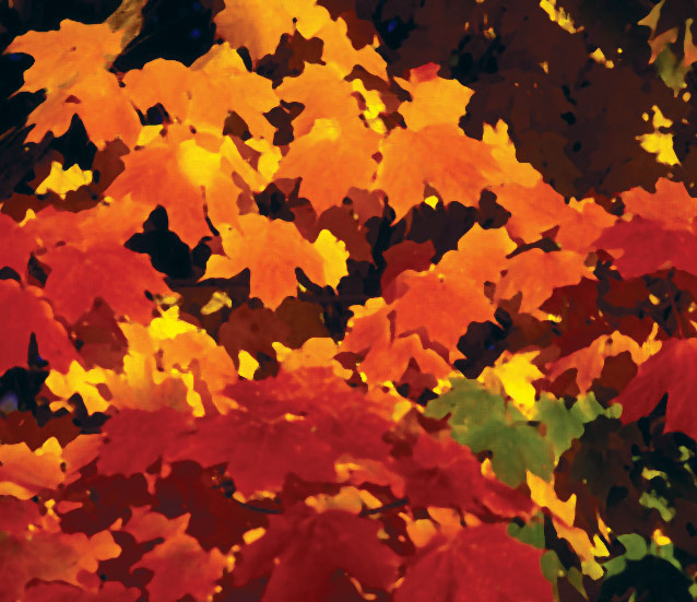 Red maple Fall foliage.