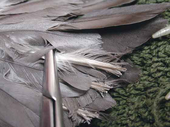 An African grey, a heavy-bodied bird, that was falling and creating a sternal ulcer