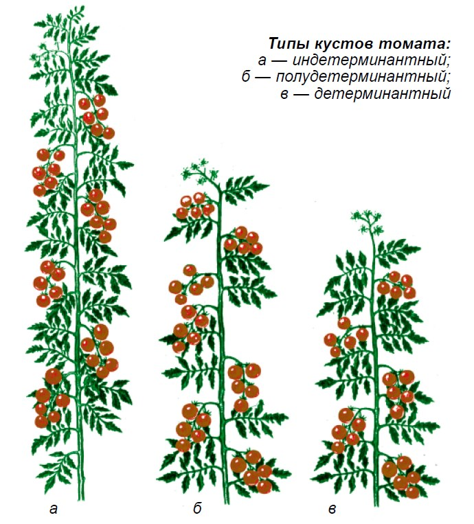 Типы кустов томата
