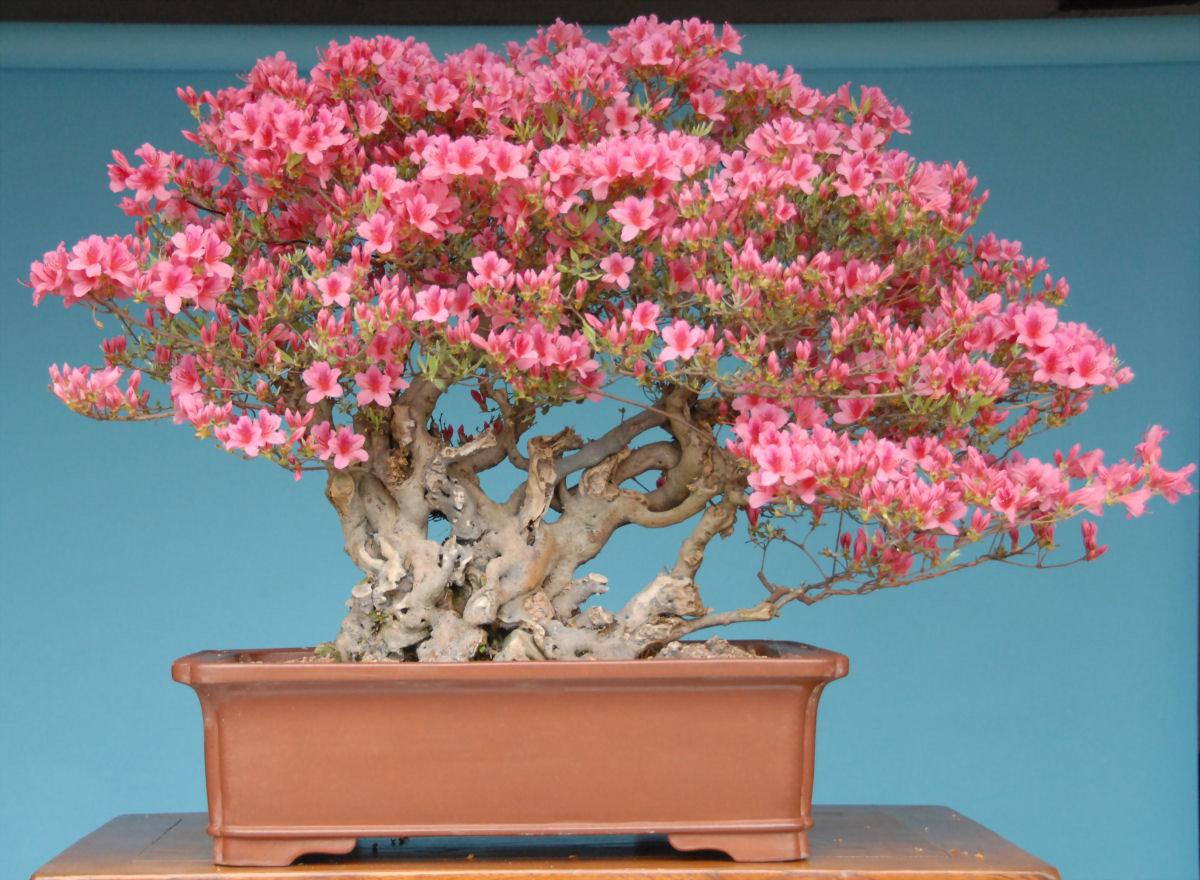 bonsai bonito