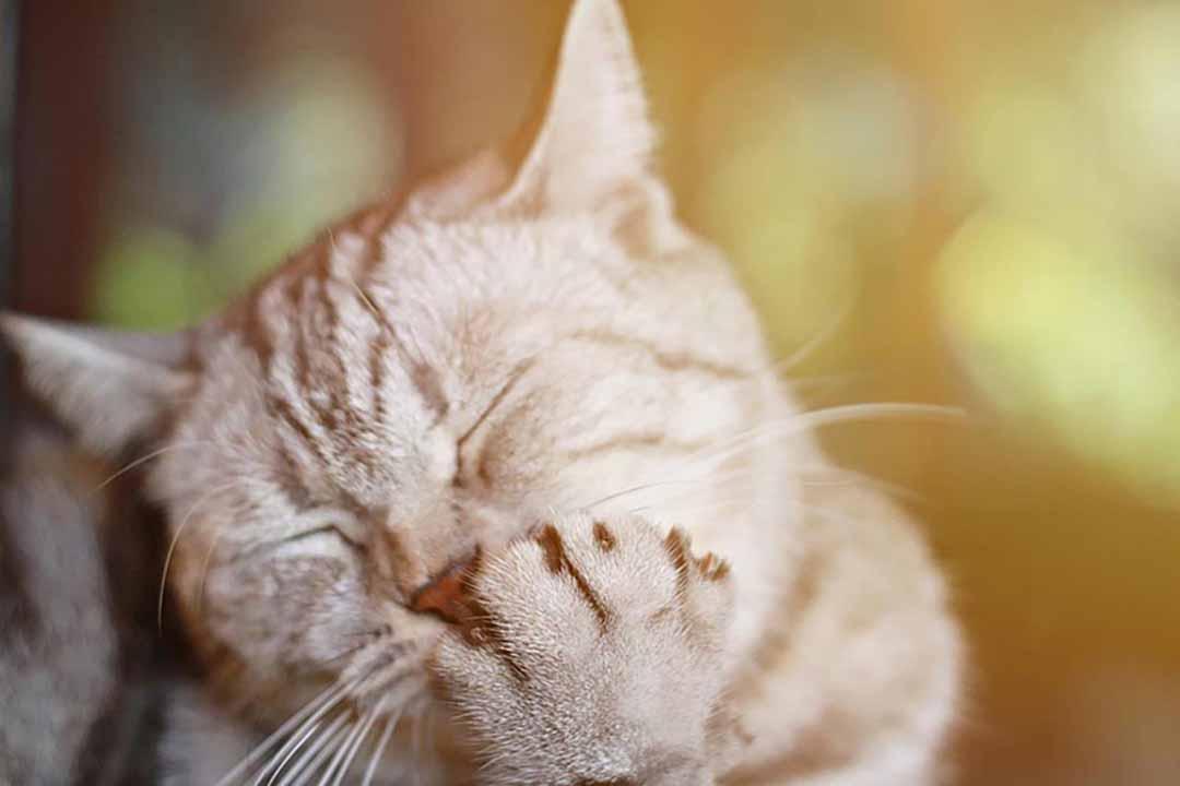 mèo sổ mũi