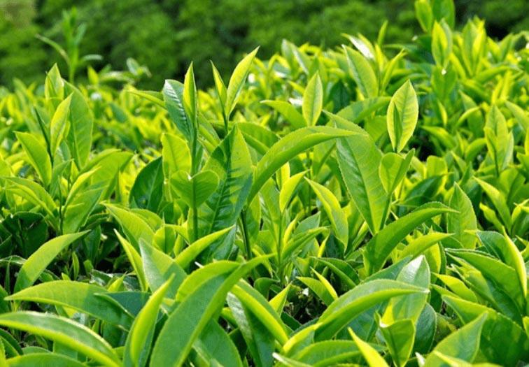 Lá trà xanh có nhiều tác dụng trong chăm sóc sức khỏe