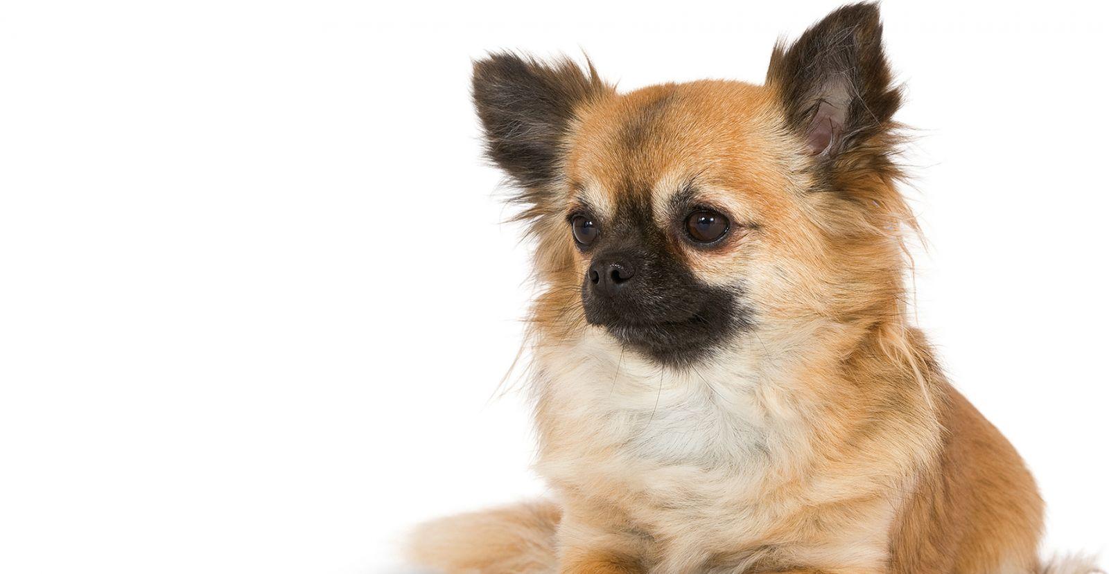 Địa chỉ bán Chihuahua