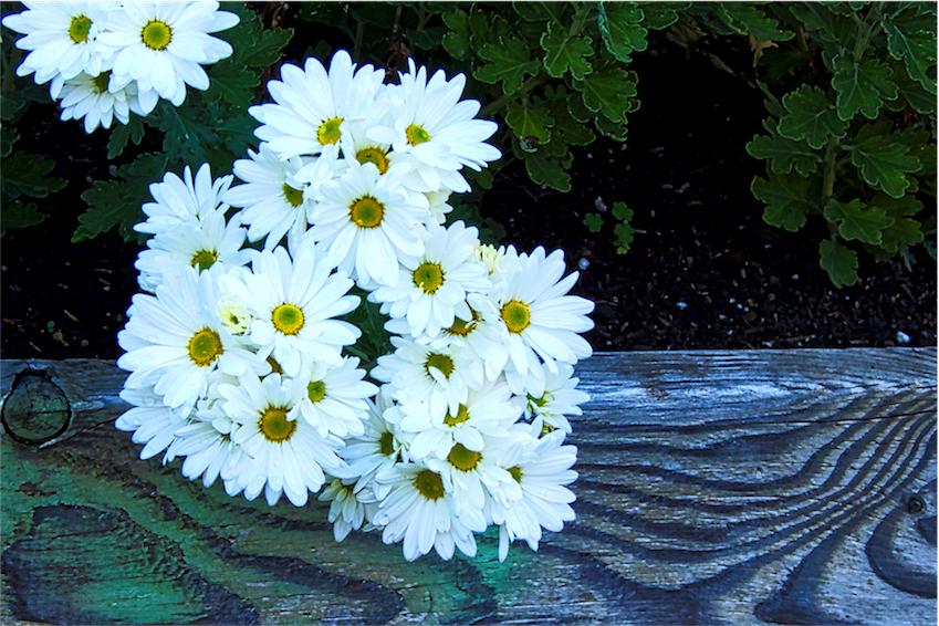 Elegant Daisy Art.jpg
