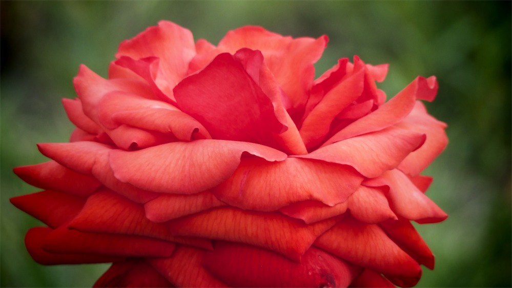 Great Big Beautiful Rose.jpg