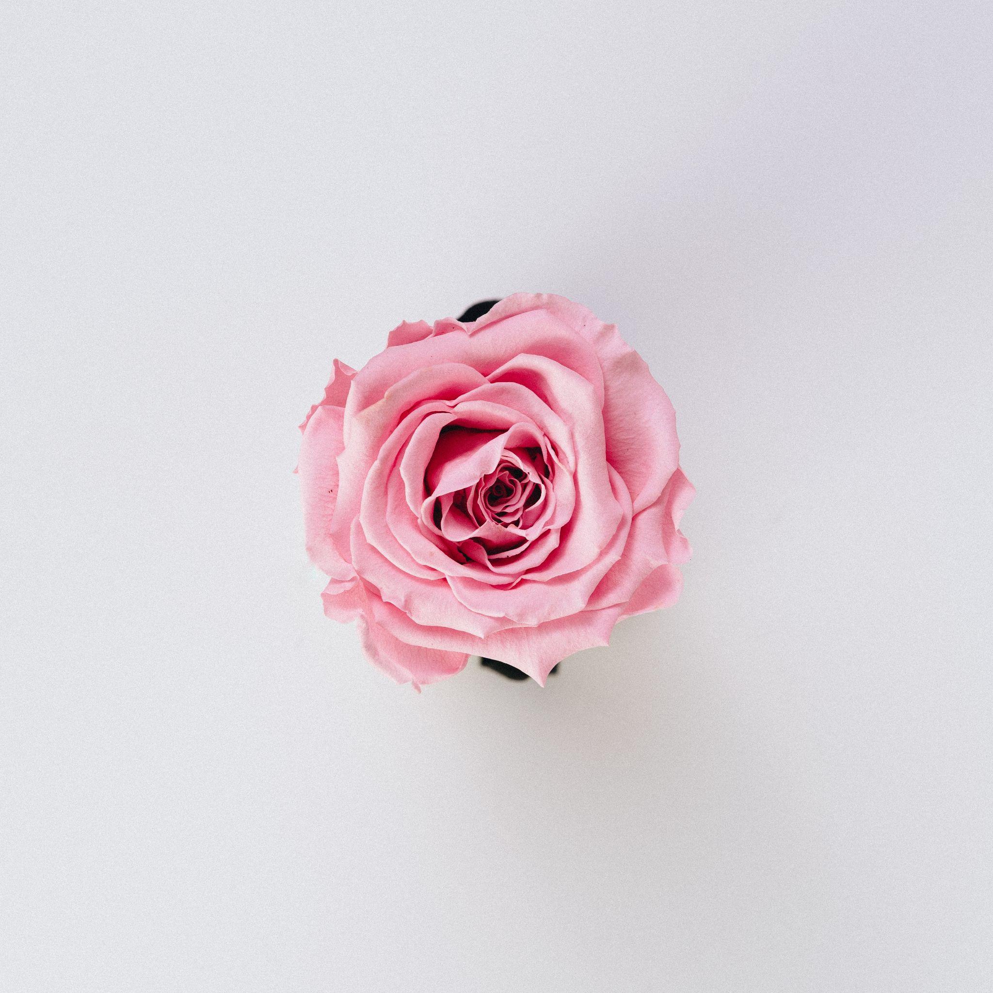Une photo illustrative d'une belle fleur de rose.