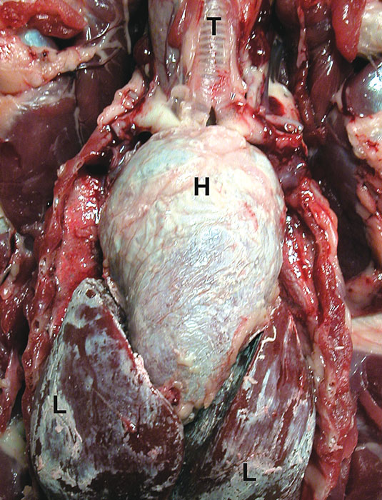 Visceral gout in a red-tailed hawk with severe deposition of urates in the pericardial sac and in the perihepatic membranes