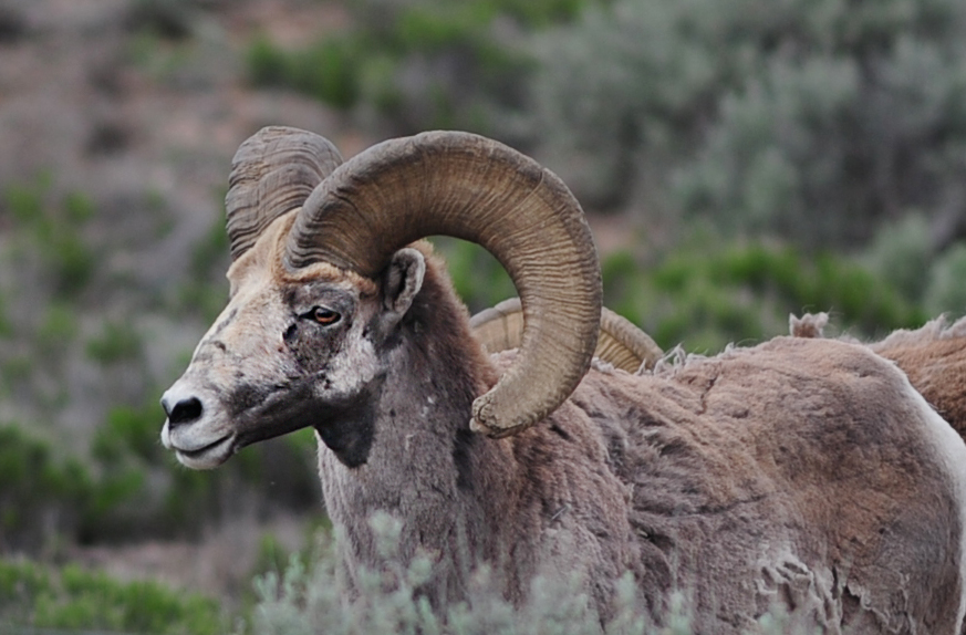 Bighorn sheep in New Mexico.