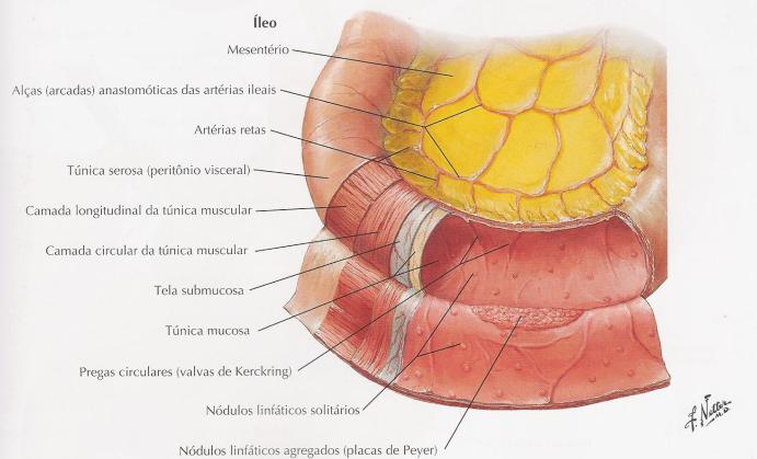 Anatomia do Íleo - Intestino delgado