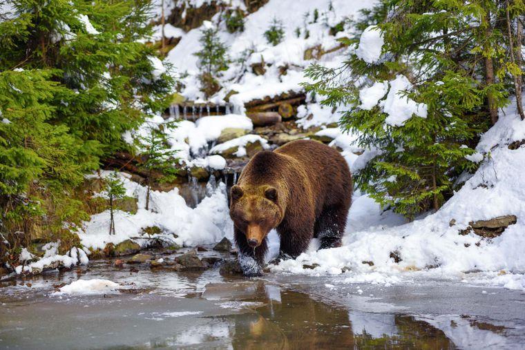 Медведь в естественной среде обитания в Карпатах