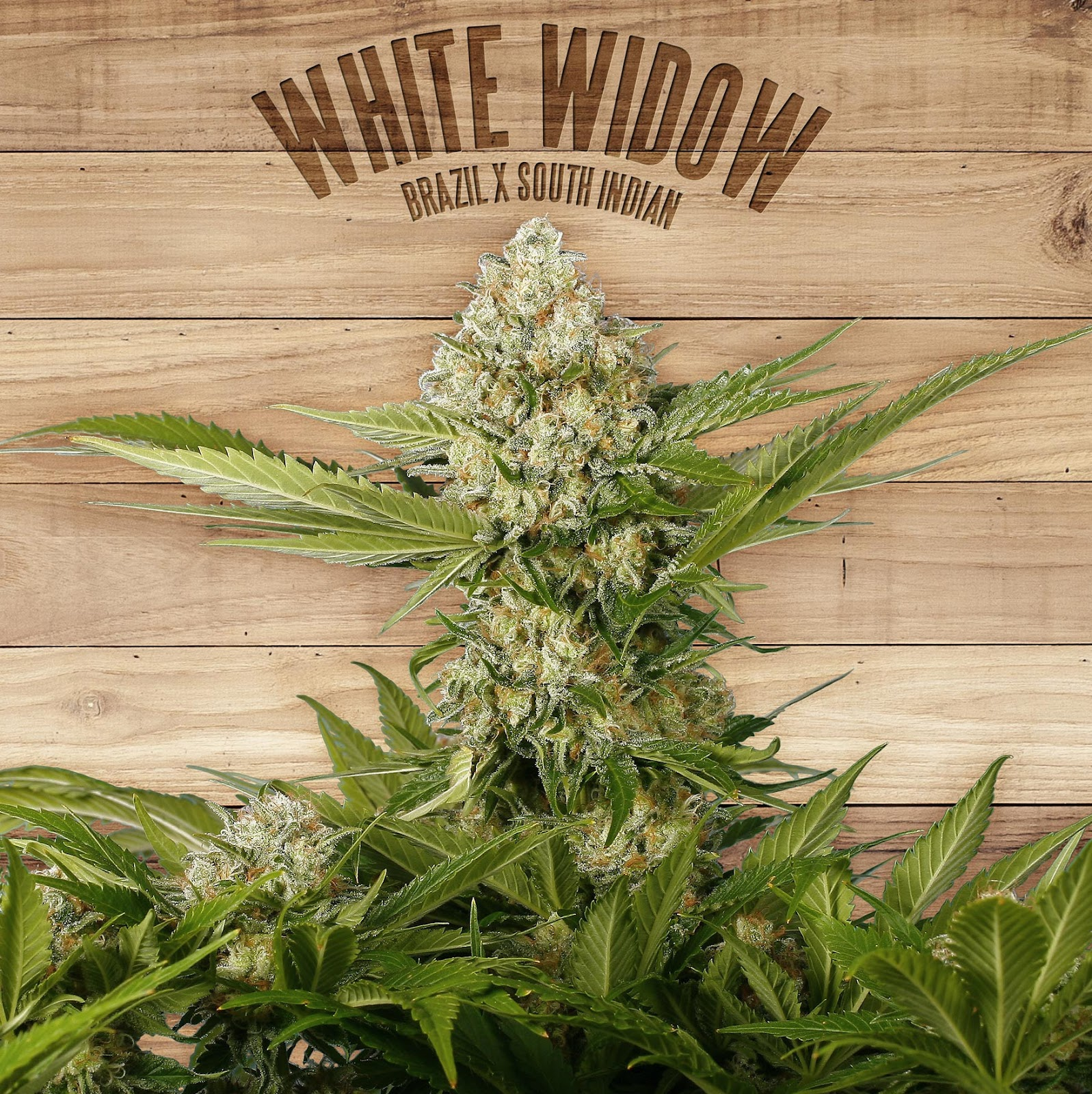 White Widow Branded Cannabis