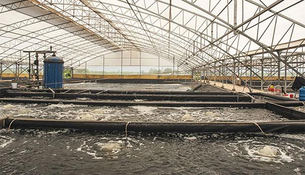 Mô hình nuôi trồng tôm công nghệ cao trong nhà kính