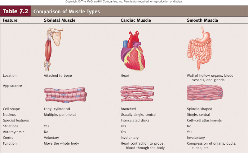Study Guide (Muscular System) KEY.doc