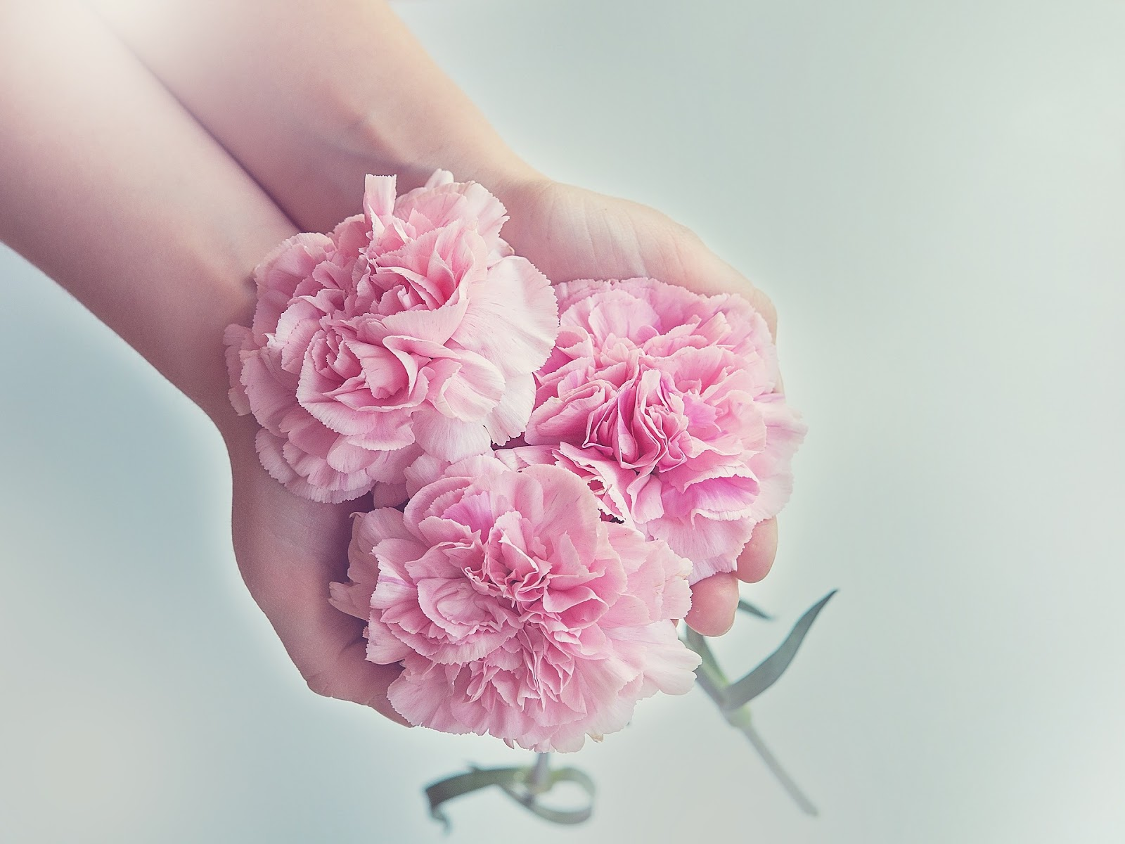 Pink carnations_for funeral.jpg