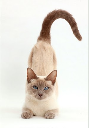 Why do Cats Arch their Backs