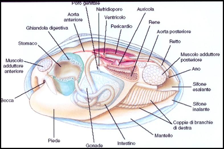 Contemporáneo Diagrama De La Anatomía Mejillón Elaboración ...