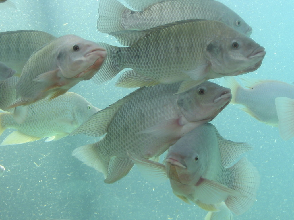 Mrminixeducation nile river for What is tilapia fish