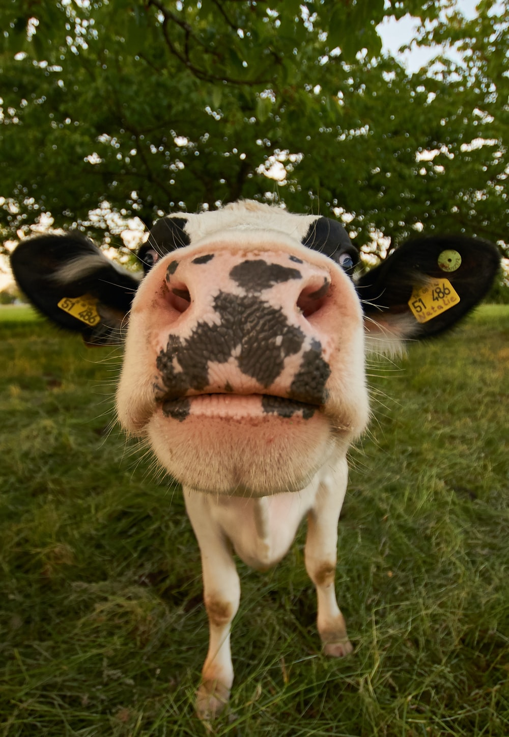 Cow in your face