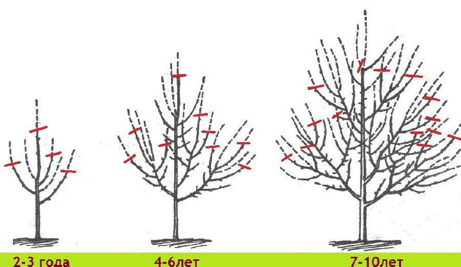 Схема обрезки по возрастам дерева