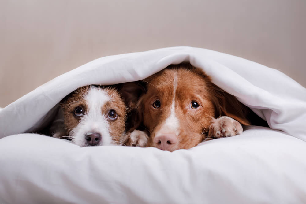dogs scared off by fireworks hiding under a blanket