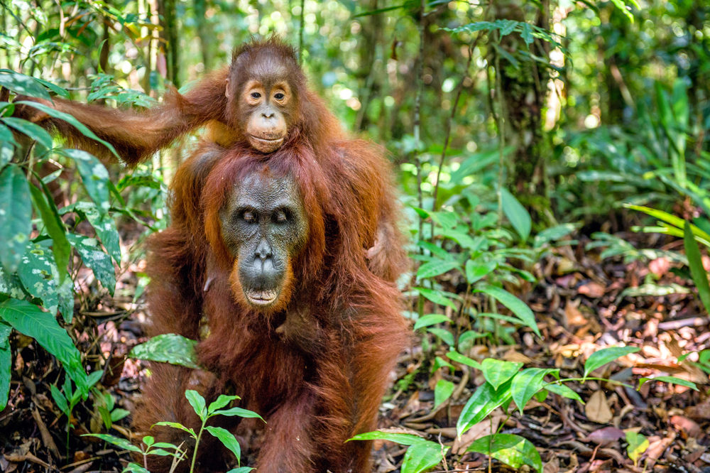 Orangutans in Leuser Ecosystem in North Sumatra and Aceh threatened by oil palm plantations and logging