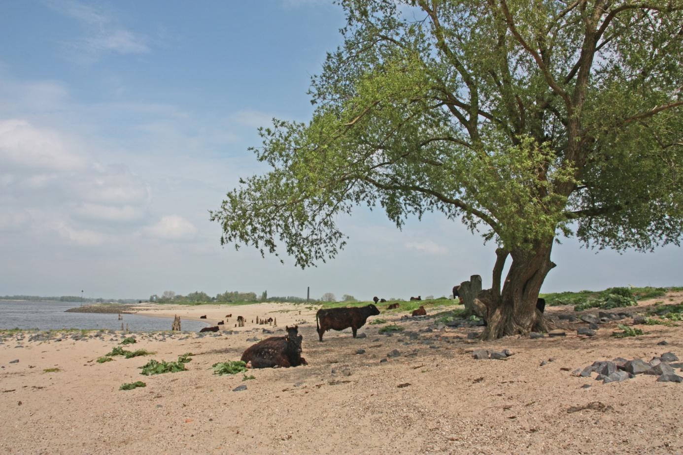 Galloway runderen aan de Waalstranden foto Johan Hol