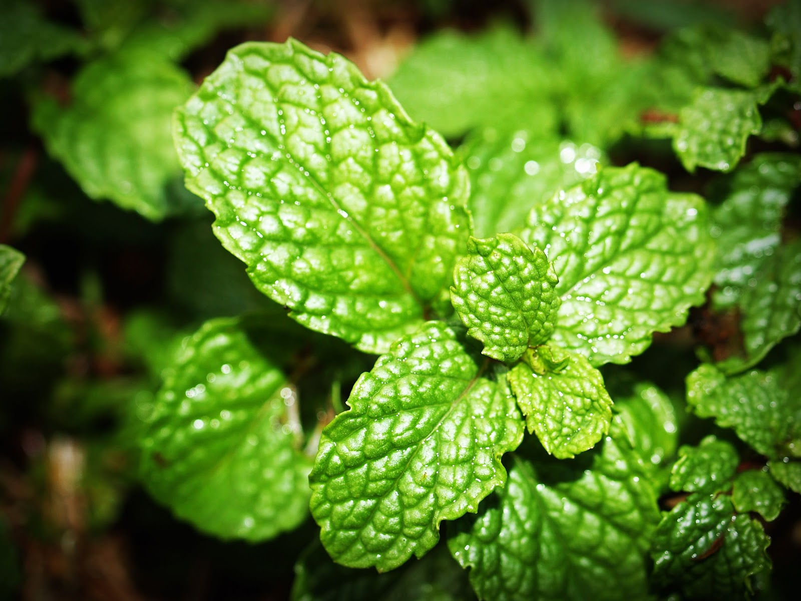 Green Mint Photo