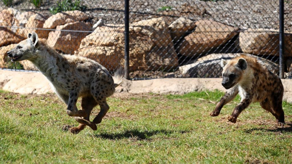 Image result for sydney zoo new zoo hyena  photo