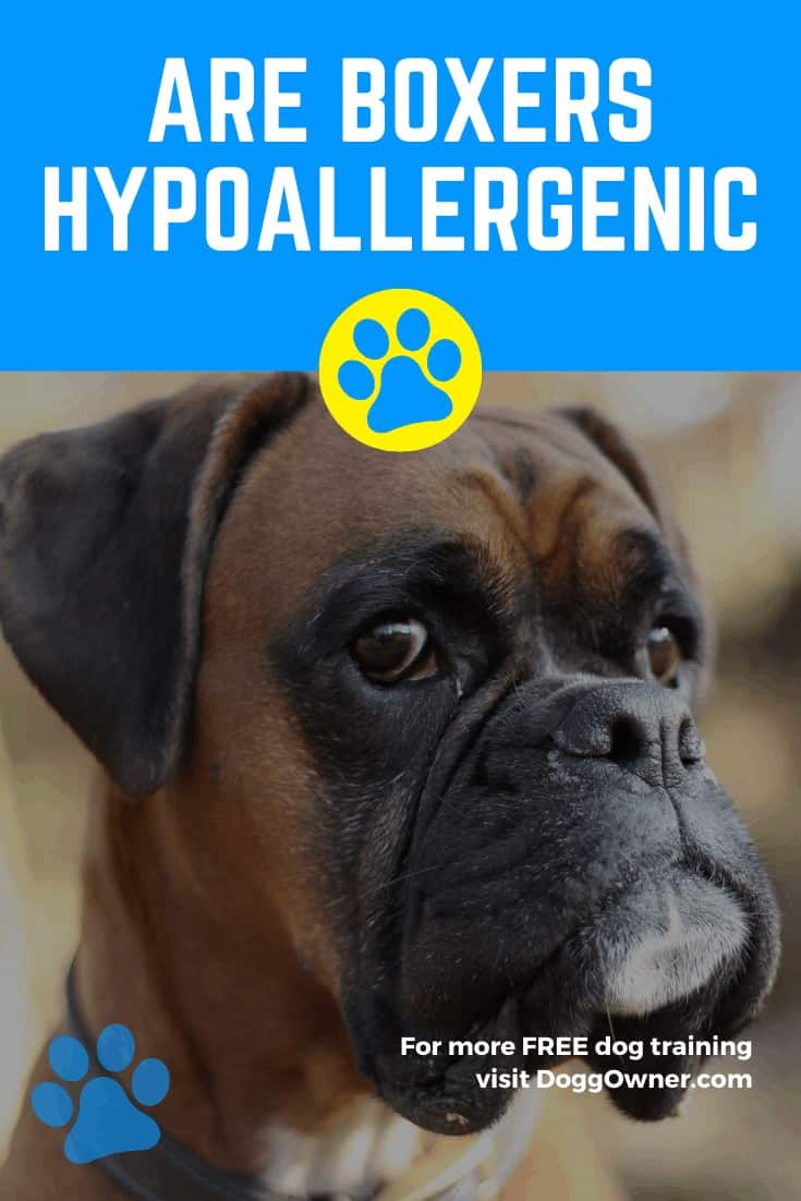 Are Boxers Hypoallergenic Pinterest Image