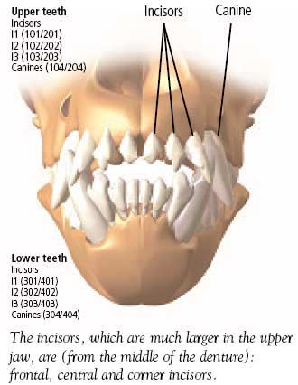 Frontal view of the denture of the dog.