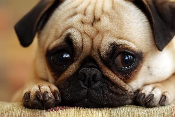 có nên chôn chó trong nhà không?