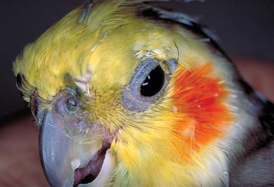 A 20-year-old male cockatiel fed a seed based diet shows accumulation of discharge over the left naris and around the eyes, which is typical of sinusitis