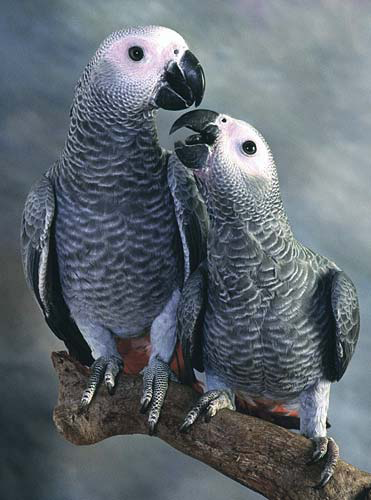 Two grey-eyed (immature) African grey parrots